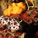 vacchetta di mare 96 150x150 Peltodoris atromaculata, Discodoris atromaculata   Doride vacchetta di mare