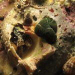 verme nemertino anastro 19 150x150 Verme a nastro notospermus