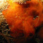 verme terebellide giallo 06 150x150 Polycirrus aurantiatus   Terebellide giallo