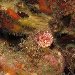 vermeto 21 150x150 Serpulorbis arenaria   Vermeto arenaria