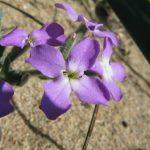 violaciocca selvatica 04 150x150 Violaciocca Selvatica