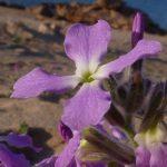 violaciocca selvatica 10 150x150 Violaciocca Selvatica