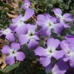 violaciocca selvatica 12 150x150 Violaciocca Selvatica