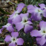violaciocca selvatica 13 150x150 Violaciocca Selvatica