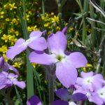violaciocca selvatica 19 150x150 Violaciocca Selvatica