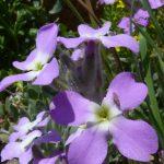 violaciocca selvatica 20 150x150 Violaciocca Selvatica