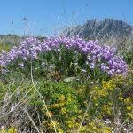 violaciocca selvatica 25 150x150 Violaciocca Selvatica