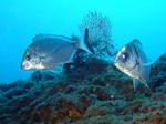 25 pesci Biologia marina mediterranea