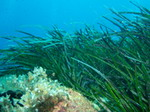 54 piante Biologia marina mediterranea
