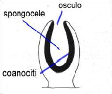 clip image012 0000 Poriferi
