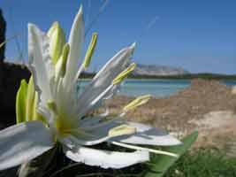 fiori 059 Biologia marina mediterranea