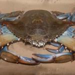 granchio-azzurro-04