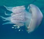 medusa-polmone-dimare-11-73178bea7c523b8c25196d76d54e00d1-200x133-75-nocrop