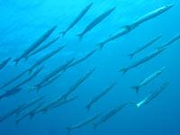 pesci pelagici 349 Ecologia marina