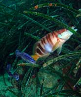 pesci territoriali 419 Mimetismo