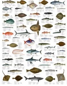 Pesci del mediterraneo biologia marina del mediterraneo for Immagini di pesci disegnati