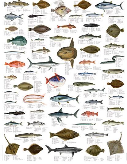 pesci1 Pesci del Mediterraneo.