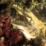 bavosa pavone 18 150x150 Lipophrys pavo, Salaria pavo, Bavosa pavone