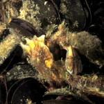 bavosa pavone 35 a 150x150 Lipophrys pavo, Salaria pavo, Bavosa pavone