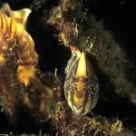 bavosa pavone 36 a 150x150 Lipophrys pavo, Salaria pavo, Bavosa pavone
