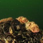 scorfano nero magnosella 150x150 Scorfano nero rosso