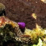 troco 07 150x150 Calliostoma conolus   Troco