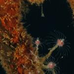 tubularia rosa 23 150x150 Tubularia crocea, Ectopleura crocea   Tubularia rosa