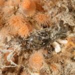 aminoea orbignana 29 150x150 Aminoea orbignyana