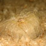 anemone bunodactis 13 150x150 Bunodactis verrucosa, Anemone bunodactis