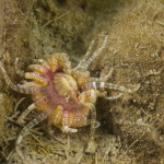 anemone bunodactis 20 150x150 Bunodactis verrucosa, Anemone bunodactis
