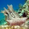 Aplysia dactylomela, Aplisia degli anelli