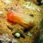 ascidia roulei 05 150x150 Ascidia roulei    Ascidia bordi rossi
