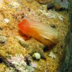 ascidia roulei 06 150x150 Ascidia roulei    Ascidia bordi rossi