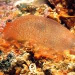 Ascidia rubrotinta - Ascidia a venature rosse