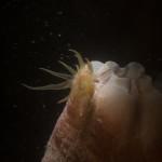 bunodeopsis strumosa 08 150x150 Anemone bunodeopsis