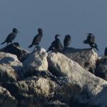 cormorano 48 150x150 Phalacrocorax carbo   Cormorano