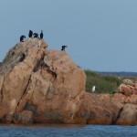 cormorano 50 150x150 Phalacrocorax carbo   Cormorano
