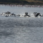 cormorano 51 150x150 Phalacrocorax carbo   Cormorano