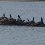 cormorano 54 150x150 Phalacrocorax carbo   Cormorano