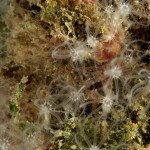 cornularia 24 150x150 Cornularia cornucopie   Cornularia