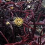 diadumene cincta 11 150x150 Anemone diadumene
