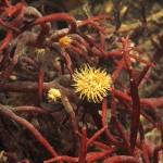 Anemone diadumene