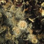 diadumene cincta 25 150x150 Anemone diadumene