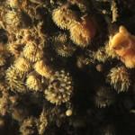 diadumene cincta 34 150x150 Anemone diadumene