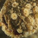 diadumene cincta 35 150x150 Anemone diadumene