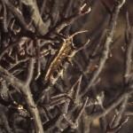 gracilaria nera 03 150x150 Gracilaria nera