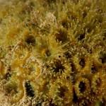 madrepora cuscino 47 150x150 Cladocora caespitosa   Madrepora cuscino