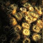 madrepora cuscino 48 150x150 Cladocora caespitosa   Madrepora cuscino