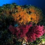 margherite 60 150x150 Parazoanthus axinellae   Margherita di mare