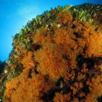 margherite di mare 71 150x150 Parazoanthus axinellae   Margherita di mare